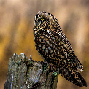 219A3460 edited,owl,short,eared,perched,sharpened.jpg