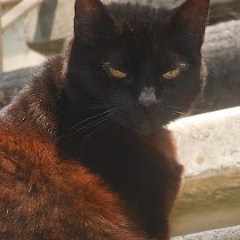 cinnamon by Norma Okun - Animals - Cats Portraits (  )