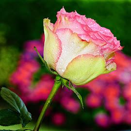 Rose sur fond d'orthensias by Gérard CHATENET - Flowers Single Flower