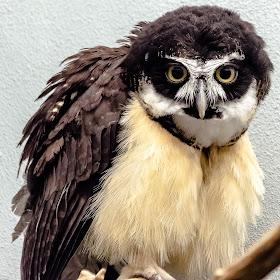 Unknown Owl 004.jpg