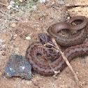 Brown snake or Dekaye's brown snake