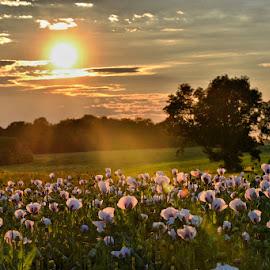 makové pole při západu slunce by Jitka Rosslerová - Landscapes Prairies, Meadows & Fields ( pole, nebe, mák, západ slunce )