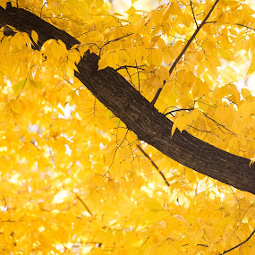 Yellow Leaves by VAM Photography - Nature Up Close Leaves & Grasses ( abstract, tree, nature, color, yellow, leaves )
