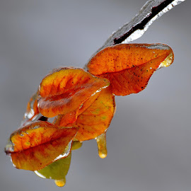 Frozen by Roscan Lucian - Nature Up Close Gardens & Produce