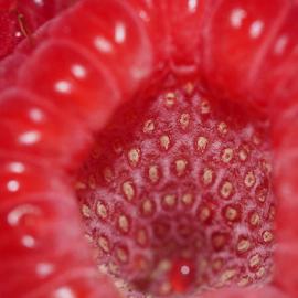 Root'in Toot'in Raspberry by Dave Feldkamp - Food & Drink Fruits & Vegetables ( fruit, red fruit, raspberry, fruits, raspberries,  )