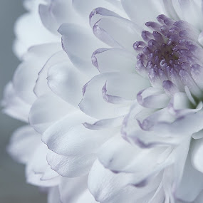 Purple and white macro flower by Danielle Royer - Flowers Single Flower