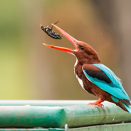 White-throated Kingfisher by Partha Sarkar - Animals Birds ( bird, kingfisher, white-throated kingfisher, birds, white-throated,  )