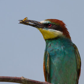 my prey by Doina Russu - Animals Birds ( colors, wildlife, prey, insect, birds, bee-eater )