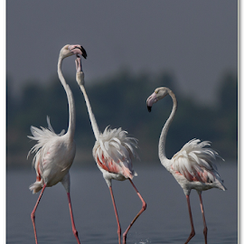 Flamingo - Love in the air by Thirumoorti Ra - Animals Birds ( nature, fight, flamingo, wildlife, morning )