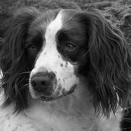Poppy in Mono by Chrissie Barrow - Black & White Animals ( monochrome, springer spaniel, black and white, pet, fur, ears, dog, mono, portrait, animal )