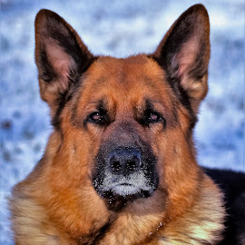Snowy face by Sue Delia - Animals - Dogs Portraits ( pet, snow, dog, german shepherd )
