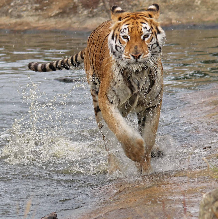 Here, Kitty Kitty! by Sam Sampson - Animals Lions, Tigers & Big Cats ( water, orange, splash, tiger, running,  )