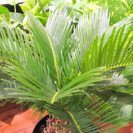 Sago palm bonsai  by Maricor Bayotas-Brizzi - Nature Up Close Other plants