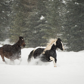 Running In The Snow by John Klingel - Animals Horses ( horses, snow, running )