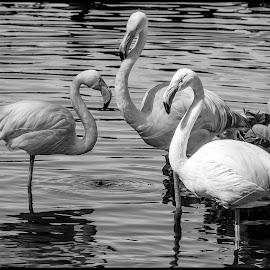 Flamingos by Dave Lipchen - Black & White Animals ( flamingos )