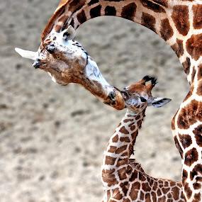 Kiss by Annemarie Rulos  - Animals Other Mammals ( giraffe )