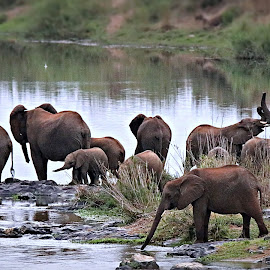Ellies at the river-side  by Pieter J de Villiers - Animals Other
