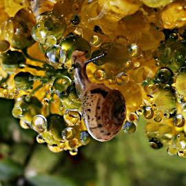Walking Through Brightness Drops by Marija Jilek - Animals Other ( water, nature, drops, natural waterdrops, snail, buds, leaves, mahonia )
