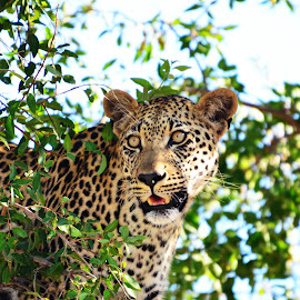 Leopard by James Hunter - Animals Lions, Tigers & Big Cats ( kruger national park, south africa, timbavati, leadwood, leopard )