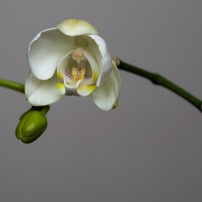 New Orchid by Mark Luyt - Flowers Single Flower ( spring, single flower, buds, orchid, flower,  )