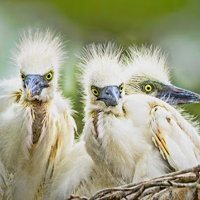 A Trio of Fledgling Egrets by Judy Rosanno - Animals Birds (  )