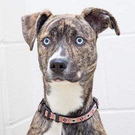 Sky - A Shelter Dog by Ginger Wlasuk - Animals - Dogs Portraits ( labrador retriever, shelter, shelter dog, puppy, dog )