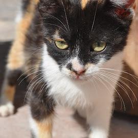 Stray Kitten in Morocco by Jamie Tambor - Animals - Cats Kittens ( cat, kitten, northern africa, essaouira, stray kitten, kittens, morocco, africa, animal )