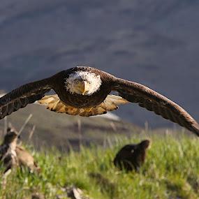 Coming at ya! by Capt Jack - Animals Birds ( #bald eagle # eagle #flight #beeline #incoming, Bird in flight, bif )