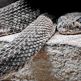 Snake by Tony Bendele - Animals Reptiles ( snake )