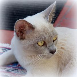Mathilda by Caroline Beaumont - Animals - Cats Portraits ( kitten, lilac, grey, burmese cat, eyes )