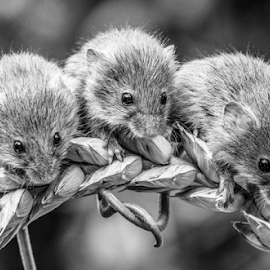 3 blind mice by Garry Chisholm - Black & White Animals ( mice, nature, harvest mouse, garrychisholm, rodent, mammal )