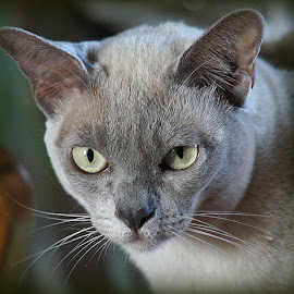 Lilac Burmese Cat by Caroline Beaumont - Animals - Cats Portraits ( lilac burmese cat )