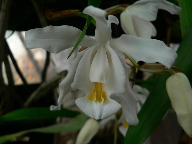 Coelogyne cristata P1070309