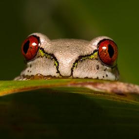 Peek-a-boo by Simon Joubert - Animals Amphibians ( tree, kwazulu-natal, frog, juvinile, afromacro, south africa, amphibian, natal )