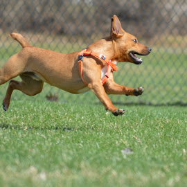 by Claudia Birkland - Animals - Dogs Running