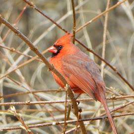 Male Cardinal in the Brush by Kristine Nicholas - Novices Only Wildlife ( brush, nature, twigs, nature up close, cardinal, birds, birding, red, bird photography, bird, bushes, wild, nature close up, wildlife,  )