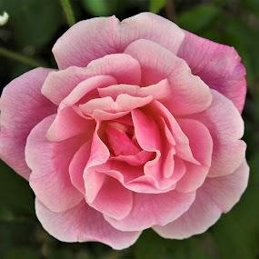 Climbing Rose by Carol Leynard - Flowers Single Flower ( pink, blossom, rose, climbing,  )