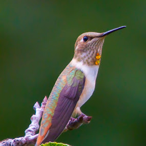 Perched Hummer by Brandon Downing - Animals Birds ( bird, macro, nature, broad tailed hummingbird, fine art, wildlife, leaf, birding, hummer )