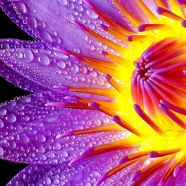 Waterlily  by Asif Bora - Flowers Flowers in the Wild