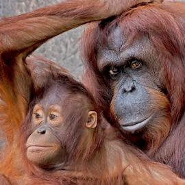 by Shelly Wetzel - Animals Other Mammals ( orangutan )