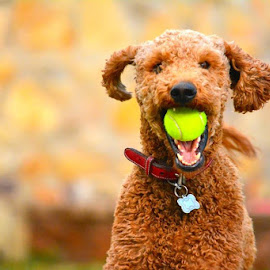 Puppy love  by Jeremy Prince - Animals - Dogs Playing ( playing, fetch, puppy, tennis ball )