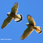 Common Kastrel