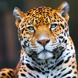 by Dennis Bartsch - Animals Lions, Tigers & Big Cats