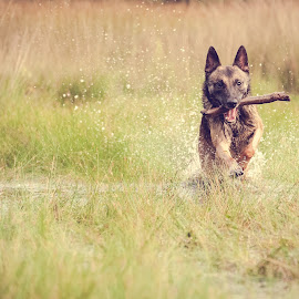 Daan by Wilma Heuvel - Animals - Dogs Running ( maashorst, dogs, honden, mallinois, dog, mechelse herder, netherlands, hunde, animal )