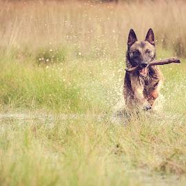 Daan by Wilma Heuvel - Animals - Dogs Running ( maashorst, dogs, honden, mallinois, dog, mechelse herder, netherlands, hunde, animal )