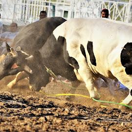 BULL FIGHT  by Subhan Mohamed - Animals Other ( fujairah, bull, bull fight )