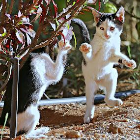 Cha-Cha by Pieter J de Villiers - Animals - Cats Playing ( playing, cats, mammals, animals, cha-cha, south africa, kittens,  )