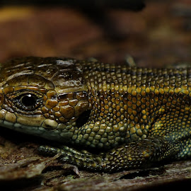 Baby Common Lizard by Pat Somers - Animals Reptiles