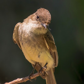 Eastern Phoebe by Steve Munford - Animals Birds ( pho be, animals, nature, eastern, birds )