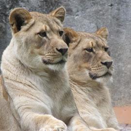 tan by Jenny Warrick - Animals Lions, Tigers & Big Cats